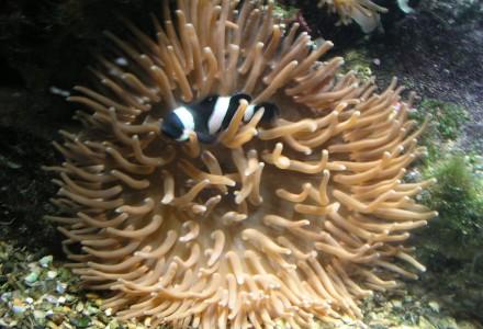 clownfish + anemone