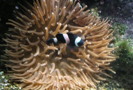 clownfish + anemone ii