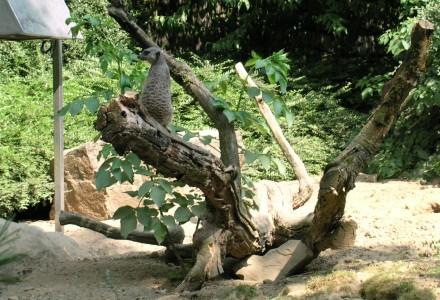 Meerkatzen (ii)