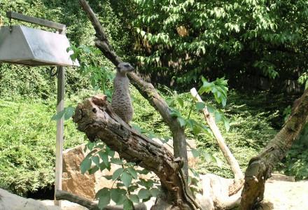 Meerkatzen (iii)