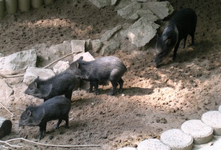 more pigs